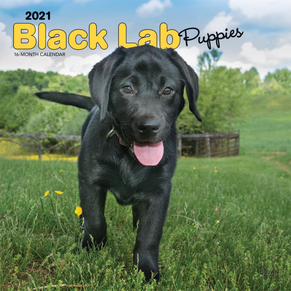 Black Labrador Retriever Puppies 2021 12 x 12 Inch Monthly Square Wall Calendar, Animals Dog Breeds Retriever Puppies