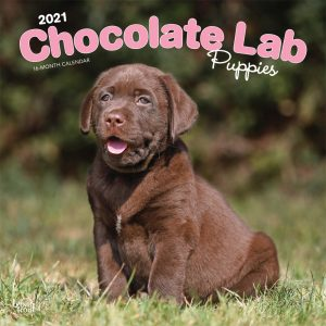 Chocolate Labrador Retriever Puppies 2021 12 x 12 Inch Monthly Square Wall Calendar, Animals Dog Breeds Retriever Puppies