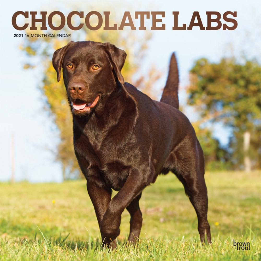 Chocolate Labrador Retrievers 2021 12 x 12 Inch Monthly Square Wall Calendar with Foil Stamped Cover, Animals Dog Breeds Retriever