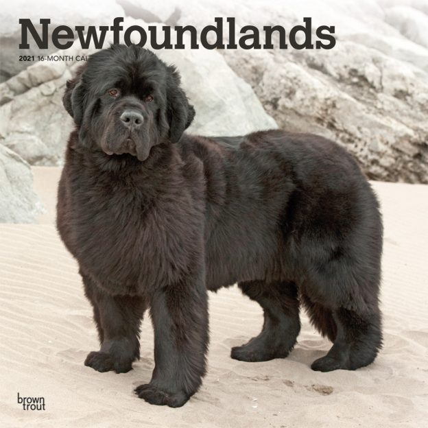 Newfoundlands 2021 12 x 12 Inch Monthly Square Wall Calendar, Animals Dog Breeds