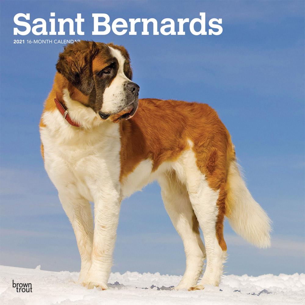 Saint Bernards 2021 12 x 12 Inch Monthly Square Wall Calendar, Animals Dog Breeds