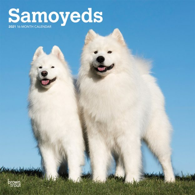 Samoyeds 2021 12 x 12 Inch Monthly Square Wall Calendar, Animals Dog Breeds