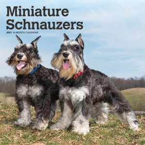 Miniature Schnauzers 2021 12 x 12 Inch Monthly Square Wall Calendar, Animals Small Dog Breeds