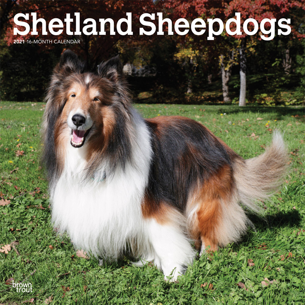 Shetland Sheepdogs 2021 12 x 12 Inch Monthly Square Wall Calendar, Animals Dog Breeds