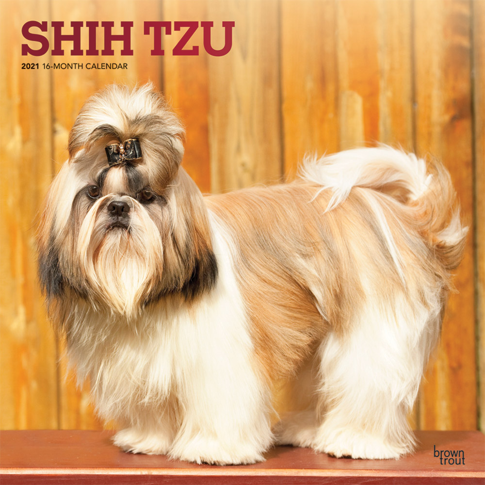 Shih Tzu 2021 12 x 12 Inch Monthly Square Wall Calendar with Foil Stamped Cover, Animals Small Dog Breeds