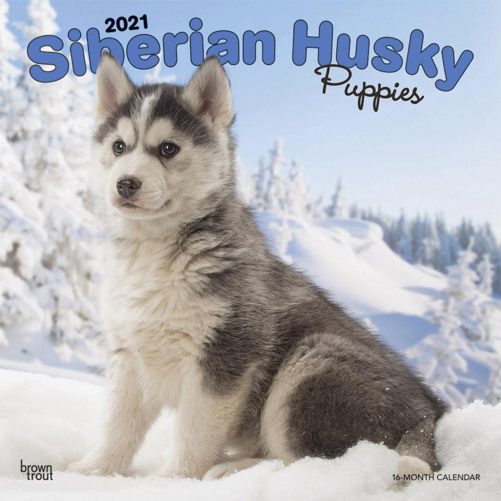 Siberian Husky Puppies 2021 12 x 12 Inch Monthly Square Wall Calendar, Animal Dog Breeds Husky