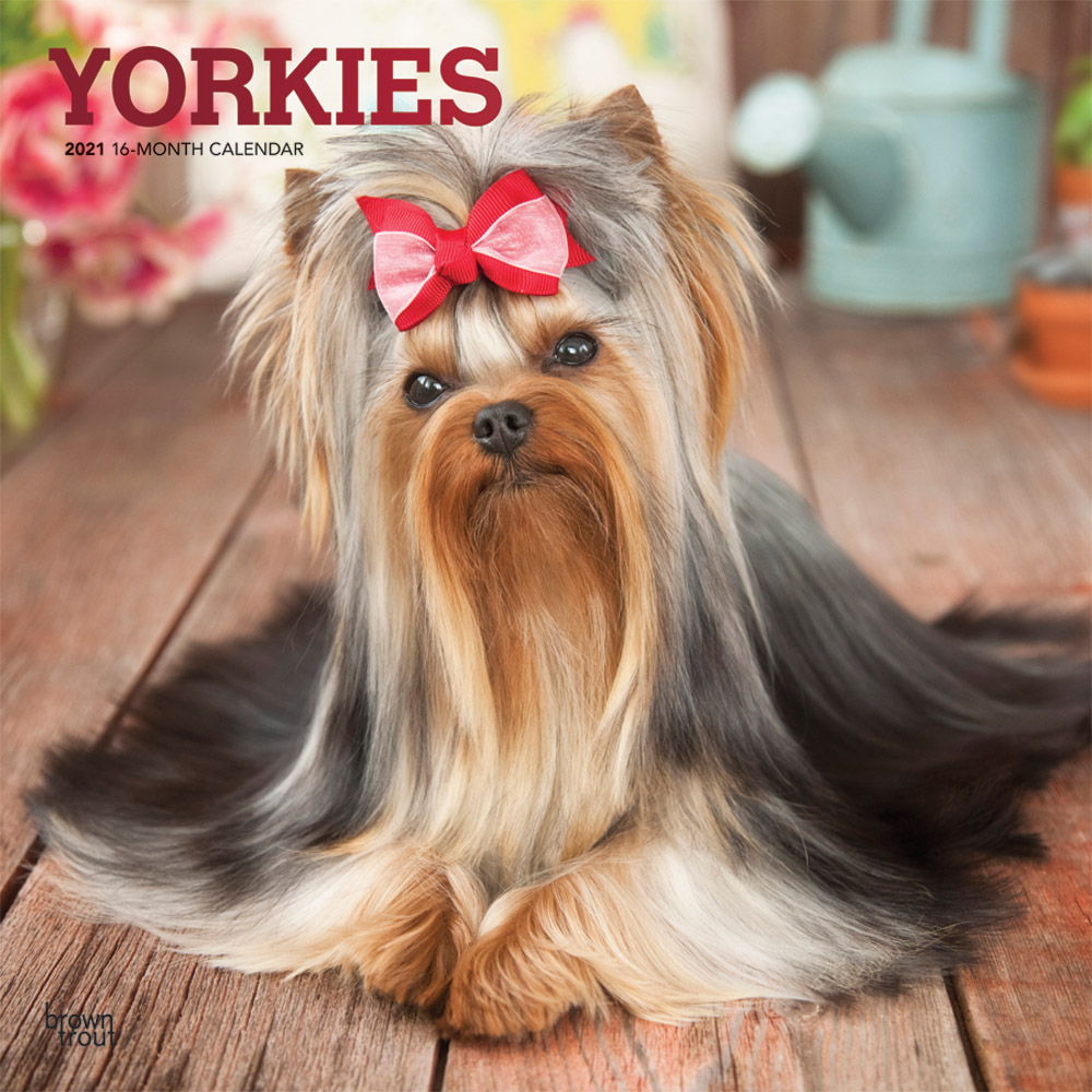 Yorkies 2021 12 x 12 Inch Monthly Square Wall Calendar with Foil Stamped Cover, Animals Small Dog Breeds Yorkshire Terriers