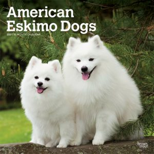 American Eskimo Dogs 2021 12 x 12 Inch Monthly Square Wall Calendar, Animals Dog Breeds American
