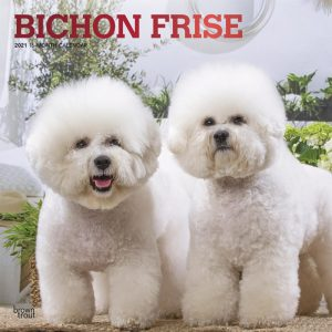 Bichon Frise 2021 12 x 12 Inch Monthly Square Wall Calendar with Foil Stamped Cover, Animals Dog Breeds