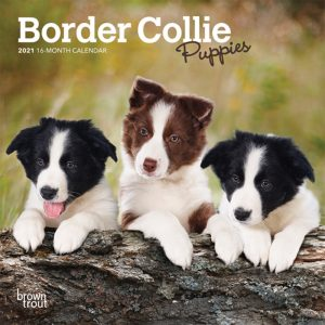Border Collie Puppies 2021 7 x 7 Inch Monthly Mini Wall Calendar, Animals Dog Breeds Collie Puppies