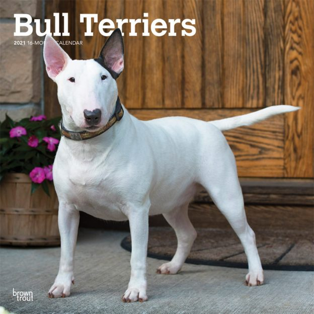 Bull Terriers 2021 12 x 12 Inch Monthly Square Wall Calendar, Animals Dog Breeds Terriers