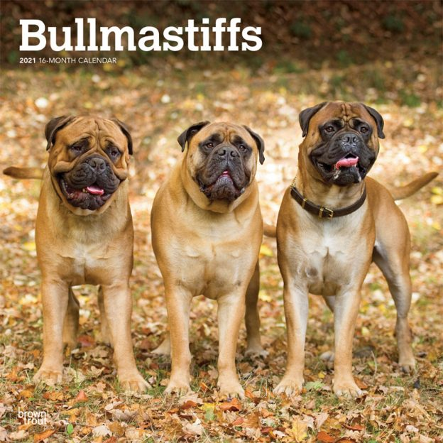 Bullmastiffs 2021 12 x 12 Inch Monthly Square Wall Calendar, Animals Dog Breeds