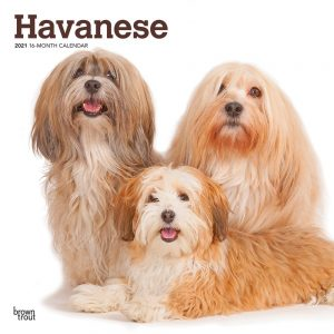Havanese 2021 12 x 12 Inch Monthly Square Wall Calendar, Animals Small Dog Breeds