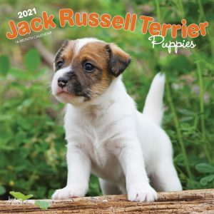 Jack Russell Terrier Puppies 2021 12 x 12 Inch Monthly Square Wall Calendar, Animals Dog Breeds Terriers