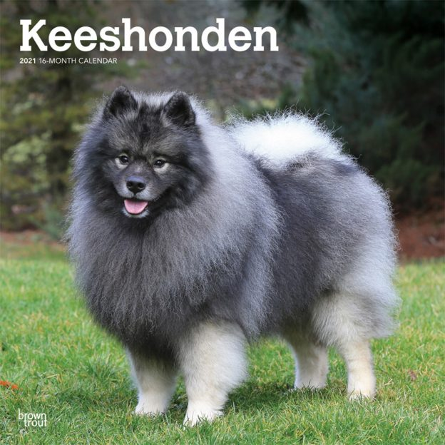 Keeshonden 2021 12 x 12 Inch Monthly Square Wall Calendar, Animals Dog Breeds