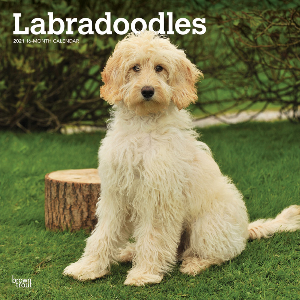 Labradoodles 2021 12 x 12 Inch Monthly Square Wall Calendar, Animals Mixed Dog Breeds