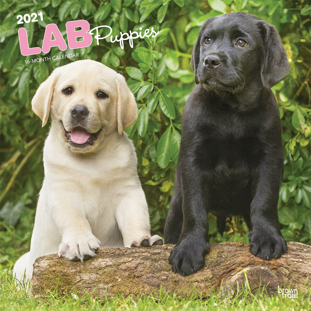 Lab Puppies 2021 12 x 12 Inch Monthly Square Wall Calendar, Animals Dog Breeds Retriever Puppies