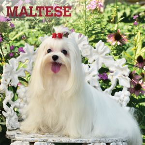 Maltese 2021 12 x 12 Inch Monthly Square Wall Calendar with Foil Stamped Cover, Animals Small Dog Breeds