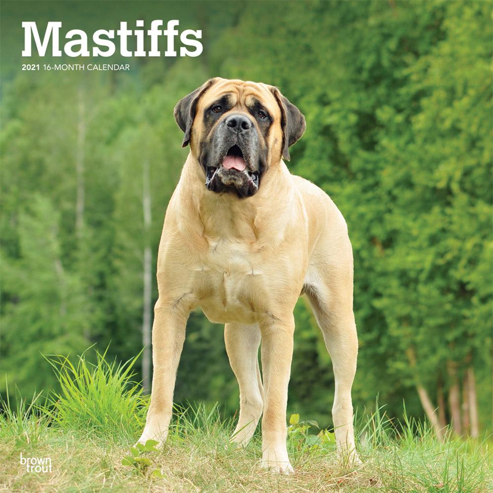 Mastiffs 2021 12 x 12 Inch Monthly Square Wall Calendar, Animals Dog Breeds
