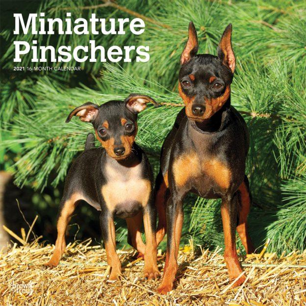 Miniature Pinschers 2021 12 x 12 Inch Monthly Square Wall Calendar, Animals Dog Breeds
