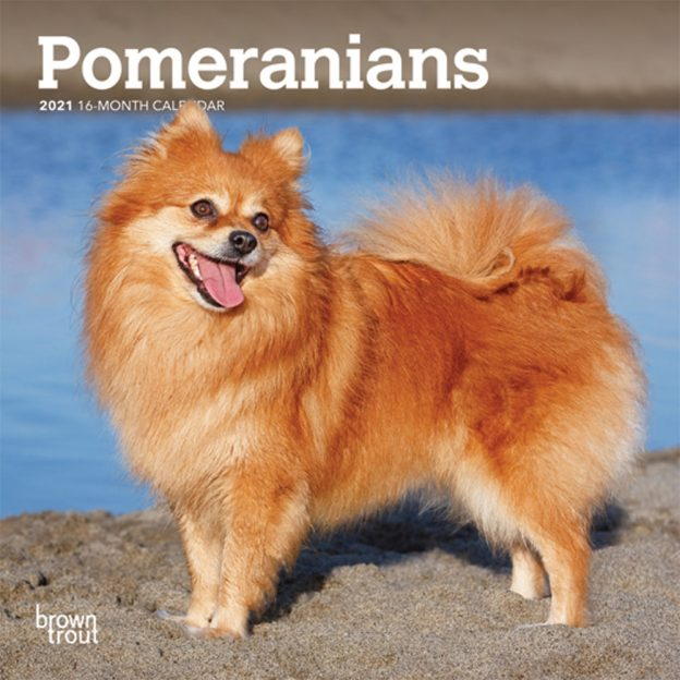 Pomeranians 2021 7 x 7 Inch Monthly Mini Wall Calendar, Animals Small Dog Breeds