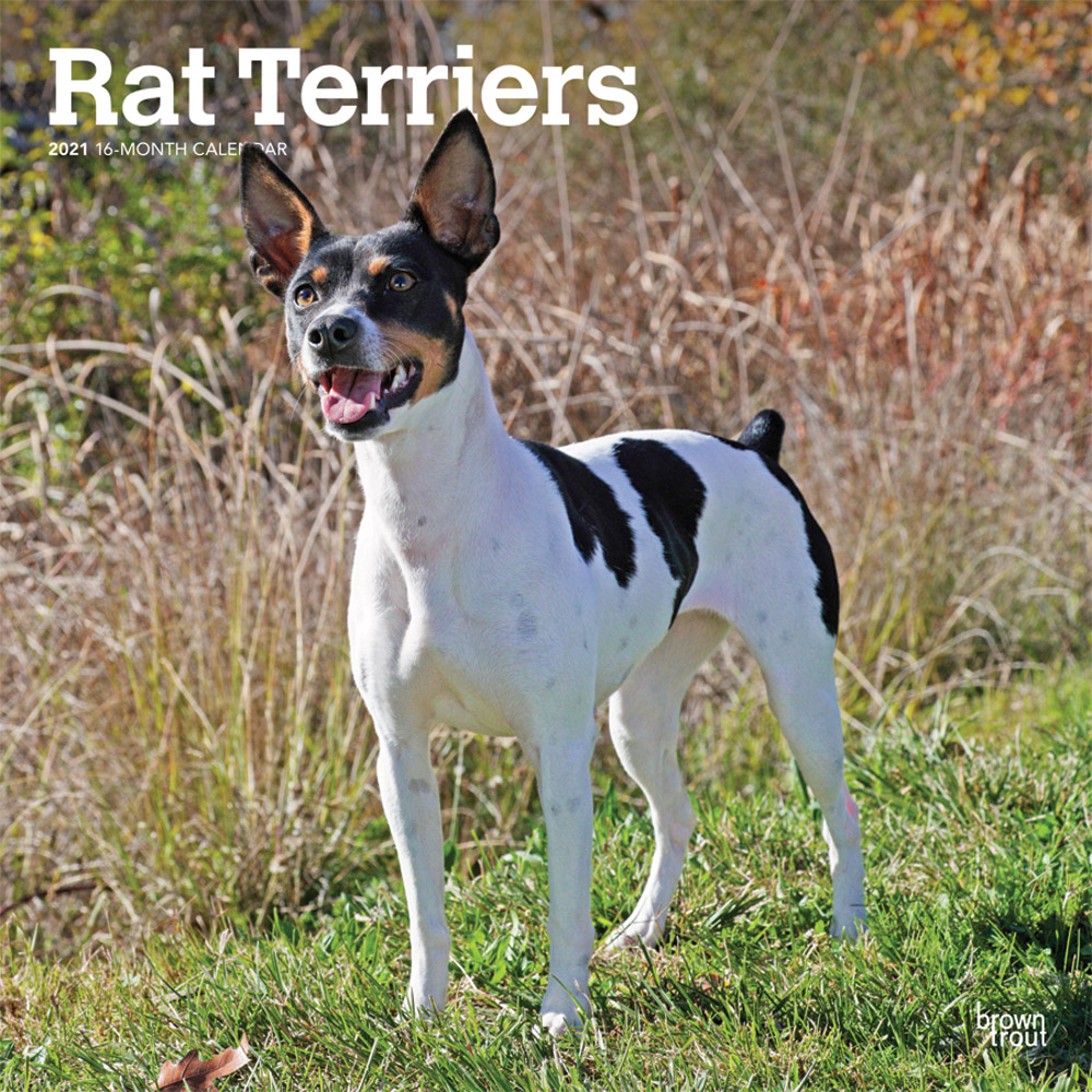 Rat Terriers 2021 12 x 12 Inch Monthly Square Wall Calendar, Animals Dog Breeds Terriers