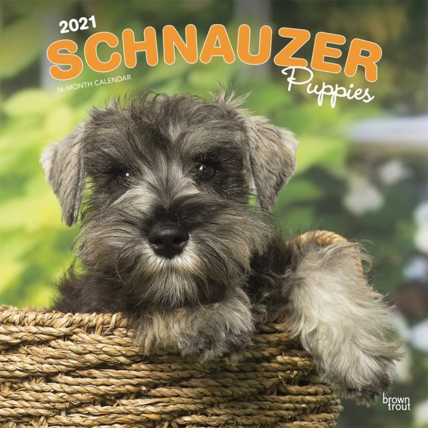 Schnauzer Puppies 2021 12 x 12 Inch Monthly Square Wall Calendar, Animals Dog Breeds Puppies