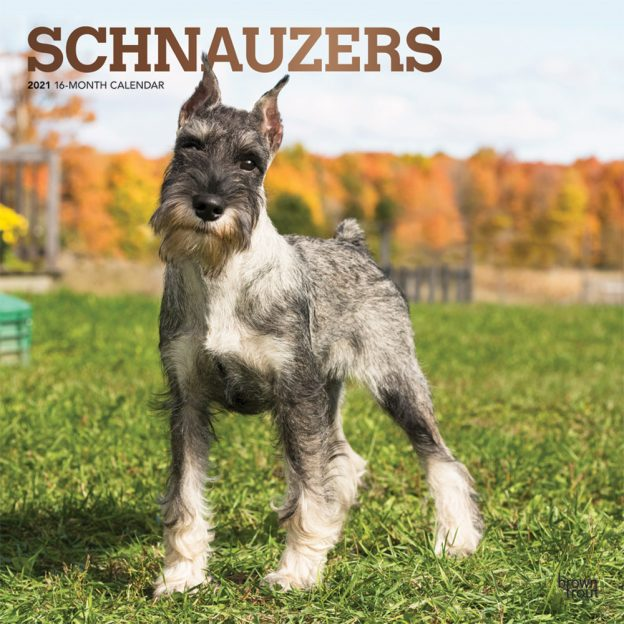Schnauzers 2021 12 x 12 Inch Monthly Square Wall Calendar with Foil Stamped Cover, Animals Dog Breeds