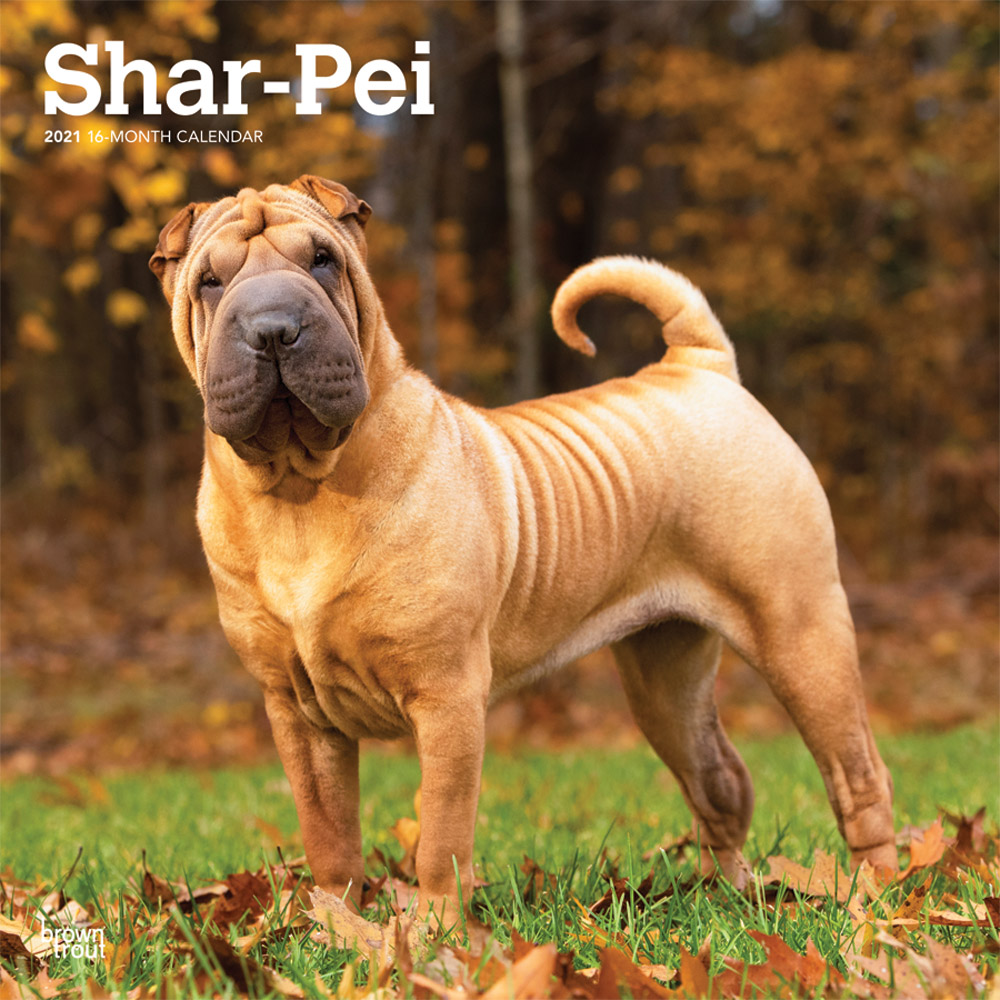 Shar Pei 2021 12 x 12 Inch Monthly Square Wall Calendar, Animals Dog Breeds