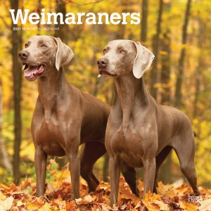Weimaraners 2021 12 x 12 Inch Monthly Square Wall Calendar, Animals Dog Breeds