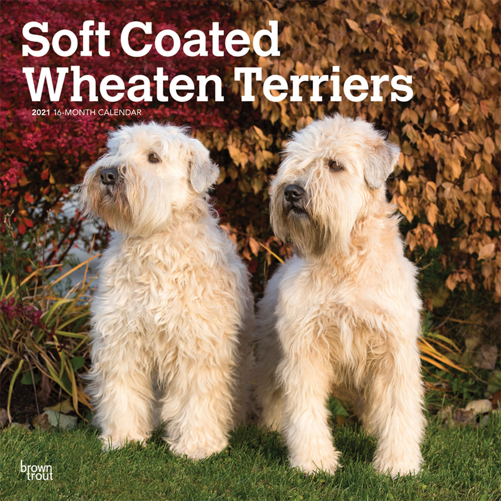 Soft Coated Wheaten Terriers 2021 12 x 12 Inch Monthly Square Wall Calendar, Animals Dog Breeds Terriers
