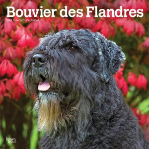 Bouvier des Flandres 2021 12 x 12 Inch Monthly Square Wall Calendar, Animals Dog Breeds