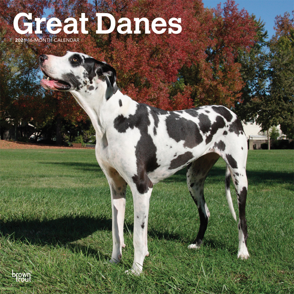 Great Danes International Edition 2021 12 x 12 Inch Monthly Square Wall Calendar, Animals Dog Breeds