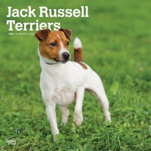 Jack Russell Terriers International Edition 2021 12 x 12 Inch Monthly Square Wall Calendar, Animals Dog Breeds Terrier