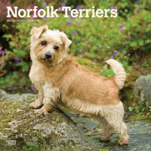 Norfolk Terriers 2021 12 x 12 Inch Monthly Square Wall Calendar, Animals Dog Breeds Terriers