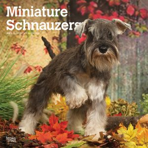 Miniature Schnauzers International Edition 2021 12 x 12 Inch Monthly Square Wall Calendar, Animals Small Dog Breeds