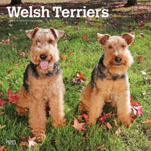 Welsh Terriers 2021 12 x 12 Inch Monthly Square Wall Calendar, Animals Dog Breeds Terriers