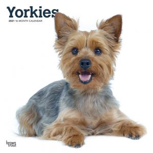Yorkies International Edition 2021 12 x 12 Inch Monthly Square Wall Calendar, Animals Small Dog Breeds Yorkshire Terriers