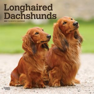 Longhaired Dachshunds 2021 12 x 12 Inch Monthly Square Wall Calendar, Animals Dog Breeds
