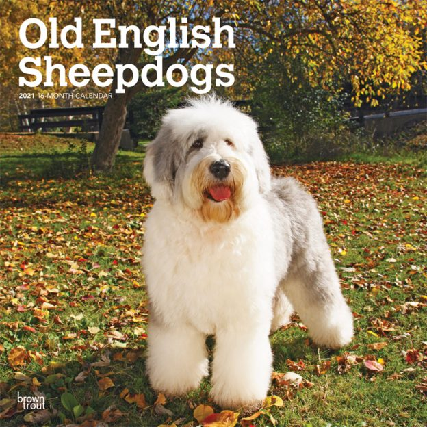 Old English Sheepdogs 2021 12 x 12 Inch Monthly Square Wall Calendar, Animals Dog Breeds