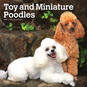 Toy and Miniature Poodles 2021 12 x 12 Inch Monthly Square Wall Calendar, Animals Small Dog Breeds