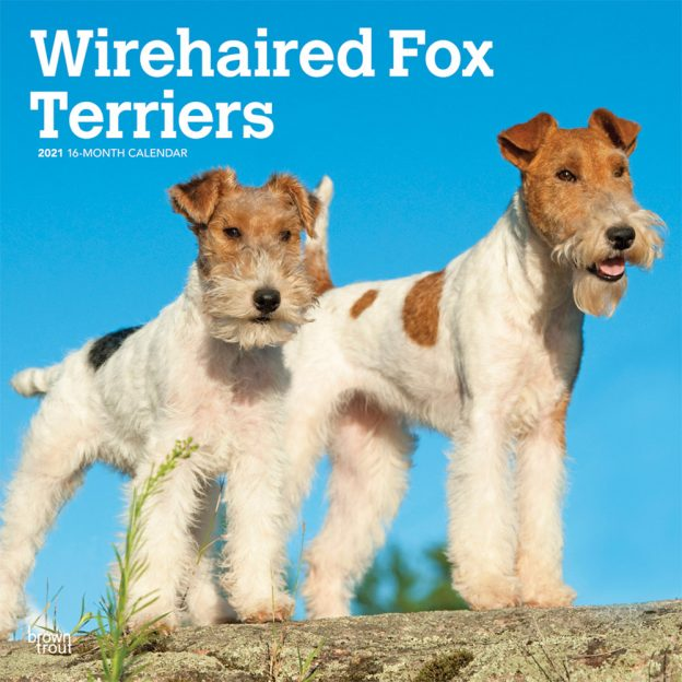 Wirehaired Fox Terriers 2021 12 x 12 Inch Monthly Square Wall Calendar, Animals Dog Breeds Terriers