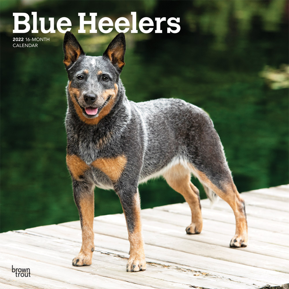 Blue Heelers 2022 12 x 12 Inch Monthly Square Wall Calendar, Animals Dog Breeds DogDays