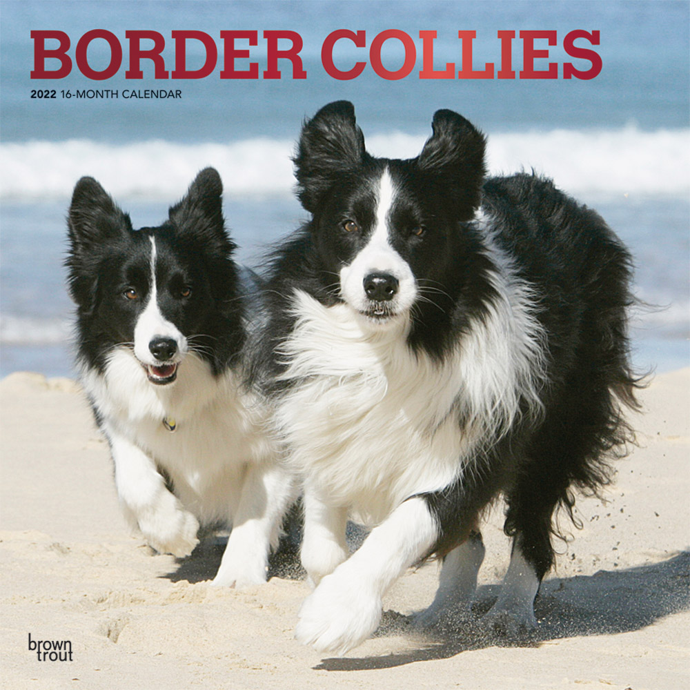 Border Collies 2022 12 x 12 Inch Monthly Square Wall Calendar with Foil Stamped Cover, Animals Dog Breeds DogDays