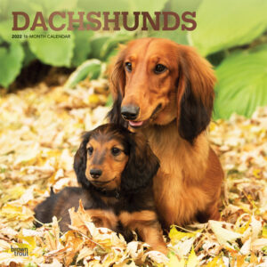 Dachshunds 2022 12 x 12 Inch Monthly Square Wall Calendar with Foil Stamped Cover, Animals Dog Breeds DogDays
