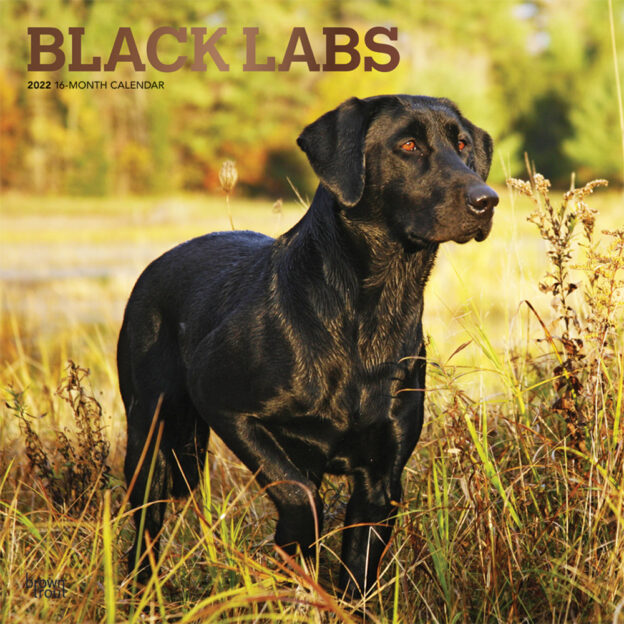 Black Labrador Retrievers 2022 12 x 12 Inch Monthly Square Wall Calendar with Foil Stamped Cover, Animals Dog Breeds DogDays