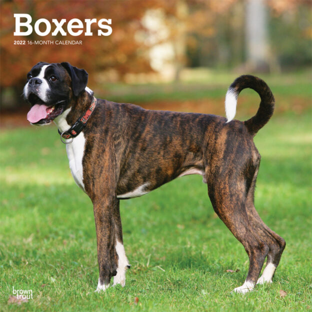 Boxers International Edition 2022 12 x 12 Inch Monthly Square Wall Calendar, Animals Dog Breeds DogDays