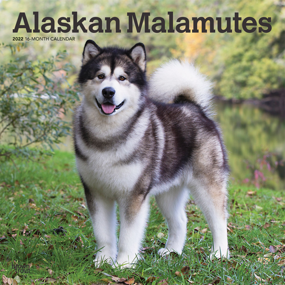 Alaskan Malamutes 2022 12 x 12 Inch Monthly Square Wall Calendar, Animals Dog Breeds DogDays