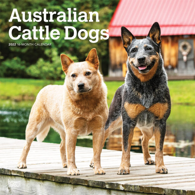 Australian Cattle Dogs 2022 12 x 12 Inch Monthly Square Wall Calendar, Animals Dog Breeds DogDays