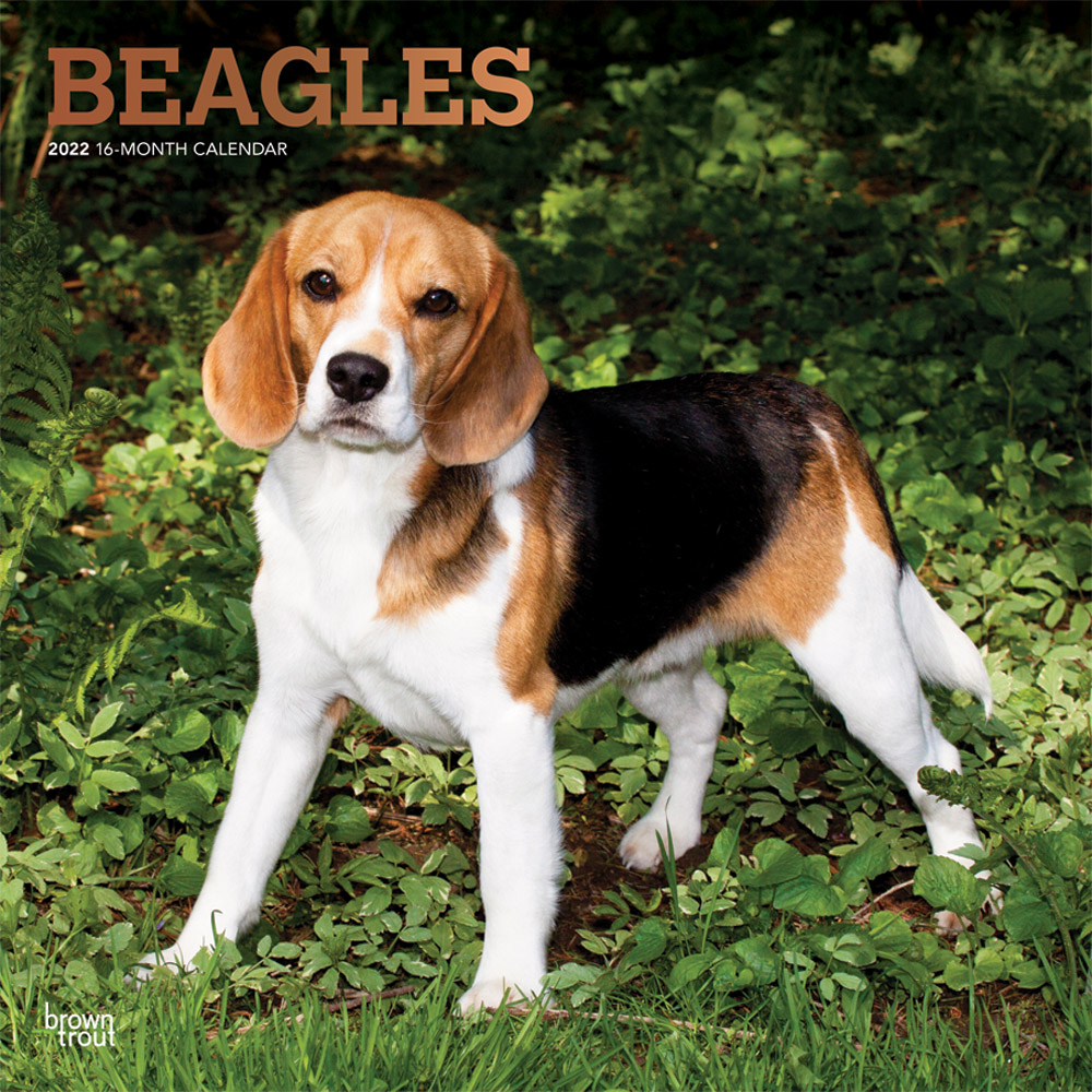 Beagles 2022 12 x 12 Inch Monthly Square Wall Calendar with Foil Stamped Cover, Animals Dog Breeds DogDays